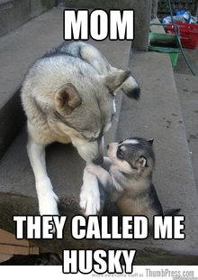 annoyed husky meme - photo #20